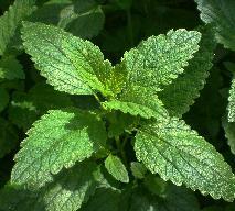 Melisa lekarska - uspokajające zioło