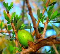 Olej arganowy – jak wykorzystać go dla zdrowia?