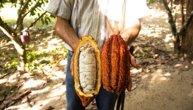 Dojrzały owoc kakaowca z ziarnami