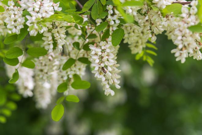 Robinia akacjowa - jak wykorzystać ją dla zdrowia?